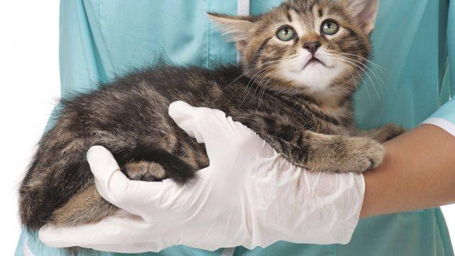 Инвагинация кишечника собаки – оперативное хирургическое лечение