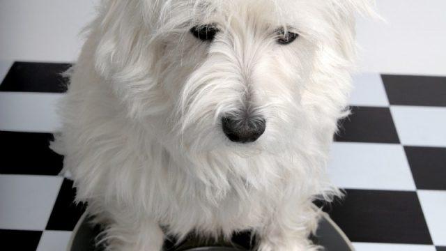 Глистная инвазия у собак – быстрое лечение